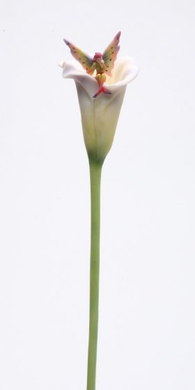 Cala Lily Fairy Stem Fitty